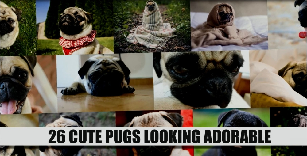 26 Cute Pugs Looking Adorable
