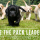 Be The Pack Leader Your Dog Wants You To Be